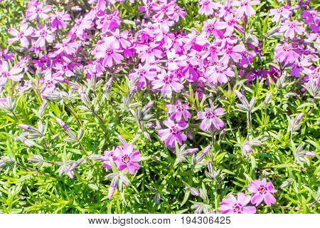 Moss Pink Or Mountain Phlox