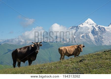 Two different cows on alpine meadow against high mountains background.