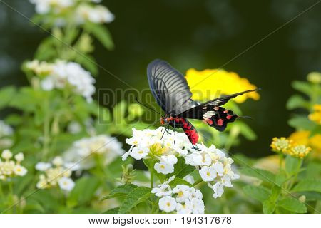 Red butterfly with Hedge flowers. Beautiful nature.