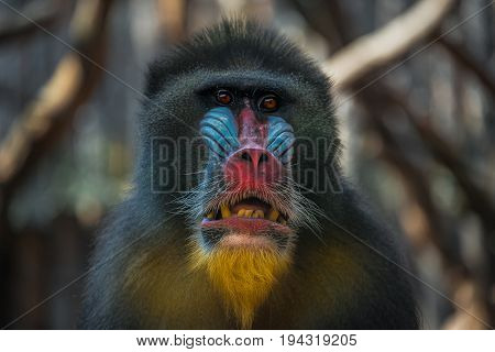 Portrait Of Old African Mandrill In The Open Resort