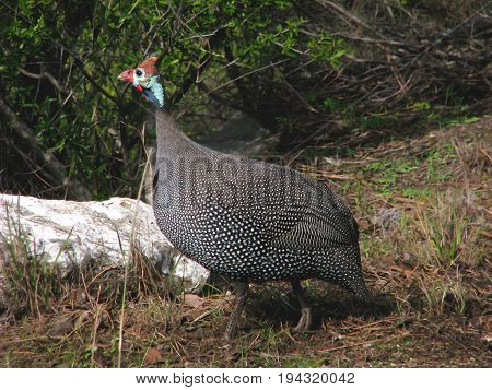 Guinea fowl are birds of the family Numididae in the order Galliformes. They are endemic to the continent of Africa 15se