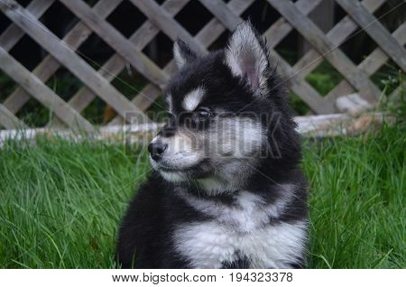 Sweet sad face of a black and white husky puppy.
