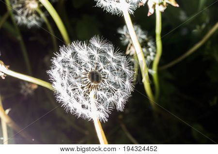 Dandelion Seeds In The Morning Sunlight Blowing Away.