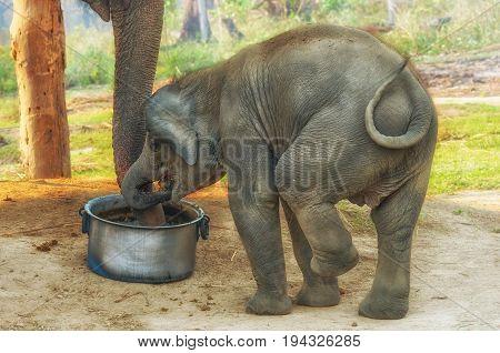Elephant Breeding Centre in Chitwan National Park ,  Nepal
