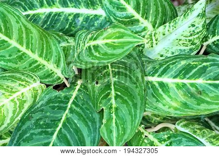 Background Pattern Beautiful Green and White Dieffenbachia Leaves or Dumb Cane Leaves Background.