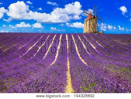 violet fields of blooming lavander in Provence. France