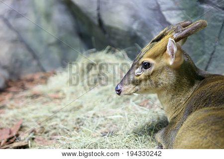 Muntiacus Reevesi In Zoo