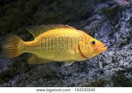 Yellow Fish In An Aquarium