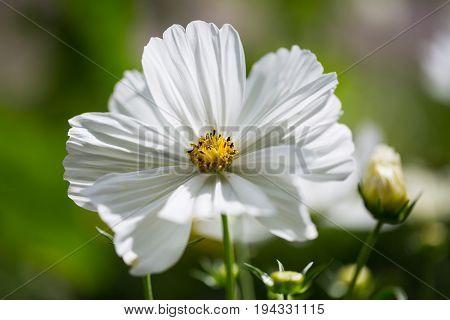Cosmos bipinnatus in garden gardening summer flower flowering blossom white Cosmos bipinnatus