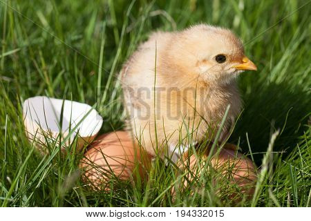 baby chicken with broken eggshell and eggs in the green grass.