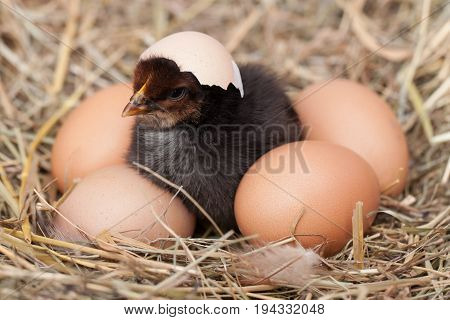 baby chicken with broken eggshell and eggs in the straw nest.
