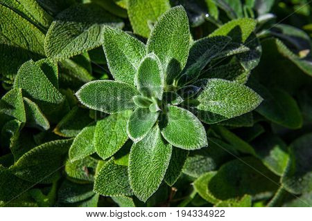 Lambs Ears plant closeup having green leaves that look like frosted. Light and shadow play. Shallow depth of field
