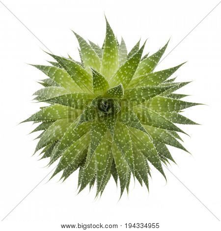 Succulent houseplant aloe vera from above isolated on white background