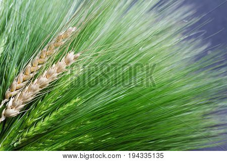 top view closeup of many fresh green and golden ripe wheat bunch bouquet bind with white thread copyspace available