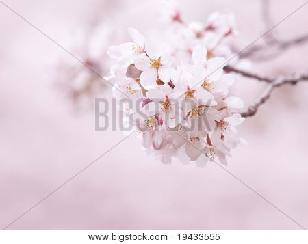 Cherry blossom with beautiful pastel pink background.