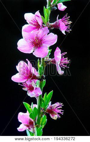 Sprout of blooming peach (Prunus persica) shot in April.