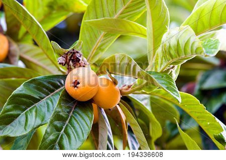 Foliage and fruits of common medlar (Mespilus germanica)