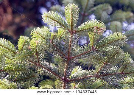 Close up of a branch of a Greek fir (Abies cephalonica).