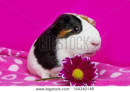 cute guinea pig with a flower on a pink background