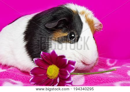 cute guinea pig with a pink flower