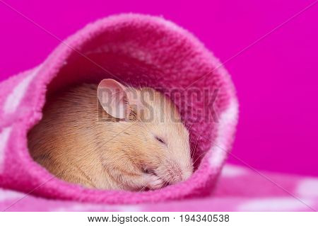 cute little mouse sleeping in a sleeve