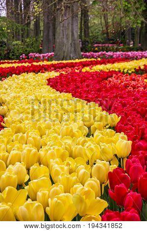 tulip fields in Holland park Keukenhof, Netherlands