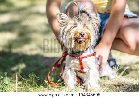 A small Yorkshire Terrier dog on a walk with a girl
