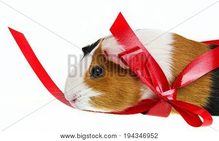 pet guinea pig in a little basket with a red ribbon