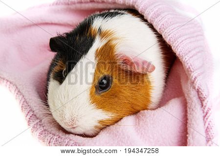 guinea pig in a pink cap isolated on white