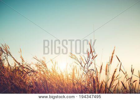 Beautiful autumn season background - wild grass with sunset and blue sky in fall.