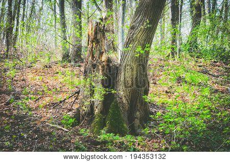 Old rotten tree in the fairy tale forest. Rotten tree. Moss on rotten tree.
