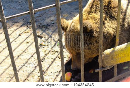 Brown bear in a cage in zoo