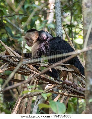 White-headed monkey mom with baby in Manuel Antonio, Costa Rica