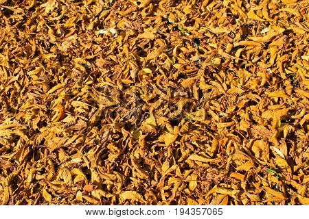 Background of the yellow fallen dry leaves
