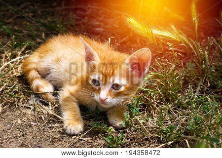 Little Cute Red Kitten With Big Eye