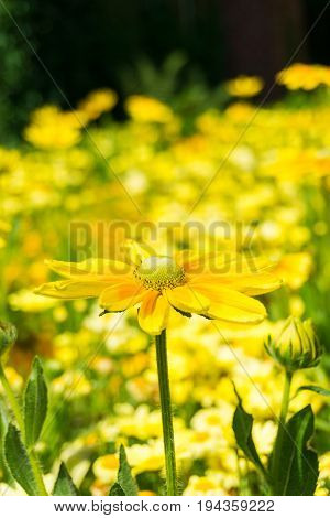 Euryops chrysanthemoides is an easy to grow Plant. View on beautiful Yellow Flowers in Sunlight. Close-up of  Yellow Flowers on a Meadow. Golden Daisy Bush in Summer.