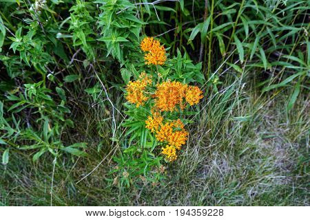 Orange butterfly weed flowers (Asclepias tuberosa) bloom next to a small, man-made lake during June in Plainfield, Illinois.
