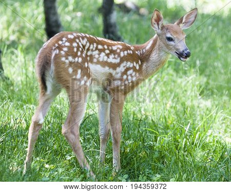 Young Whitetail Fawn Standing In Grass Field