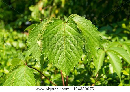 Close-up of Jagged Leaves in the Forest. View on Jagged Leaves in Sunight. Green Leaves. Natural Background.