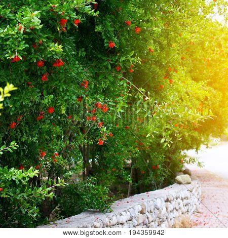 Garden Of Pomegranate Trees With Flowers