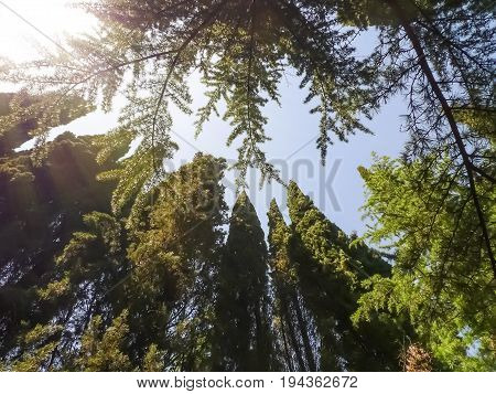 Attractive crowns of coniferous trees: cypresses pines - against sunny sky. Nikitsky Botanic garden (Crimea Russia). Natural impressive background
