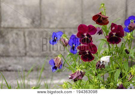 Summer blooms blue fragrant flower varietal violets on a gray background