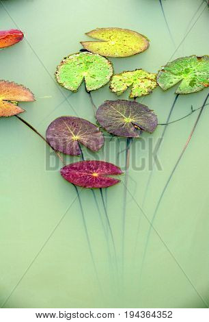 Lake with aquatic plants at Buriram on Thailand poster