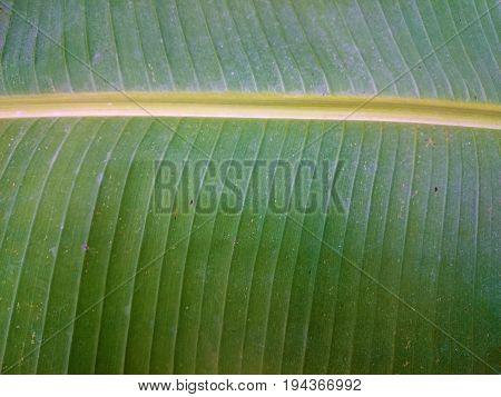 Green Banana Leaf Natural Background. Fresh Summer Or Spring Pattern. Horizontal Line Greenery Textu
