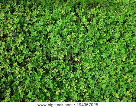 Green Natural Background Of Small Leaves. Greenery Summer Or Spring Grass Carpet Texture. Greenish S