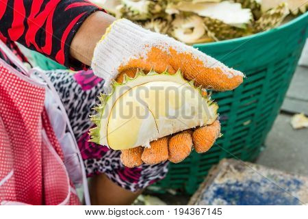 The hands are durian peels Handle a large durian show the yellow durian meat to eat. The durian is a king of fruit in Thailand durian fruit is ultra-tropical.