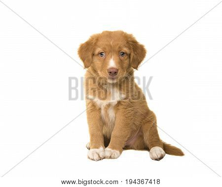 Cute sitting nova scotia duck tolling retriever puppy looking at the camera isolated on a white background