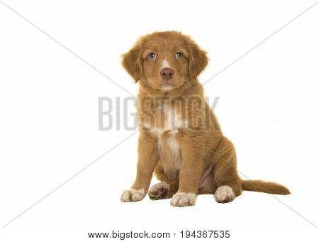 Cute sitting nova scotia duck tolling retriever puppy looking up seen from the front isolated on a white background