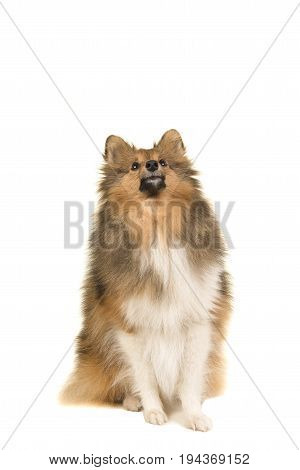 Shetland sheepdog looking up seen from the front isolated on a white background