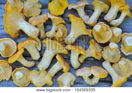 Chanterelle mushroom on rustic wooden table. Raw fresh chanterelle mushroom background. Cantharellus cibarius or girolle fungus
